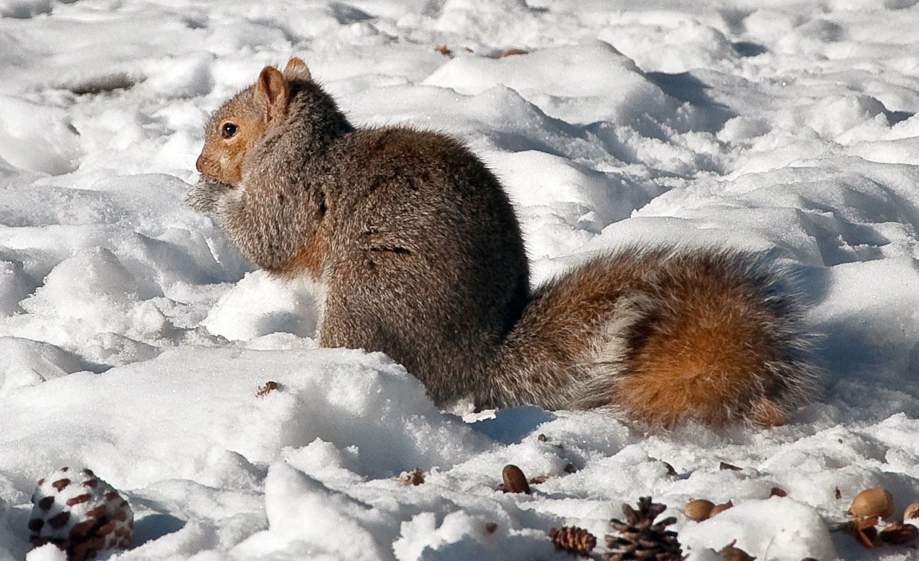 Eastern gray squirrel in Portsmouth