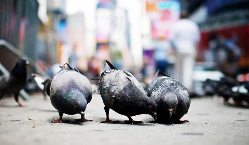 New York City Pigeons
