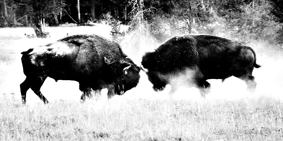 Bison Fighting; Who's the Boss