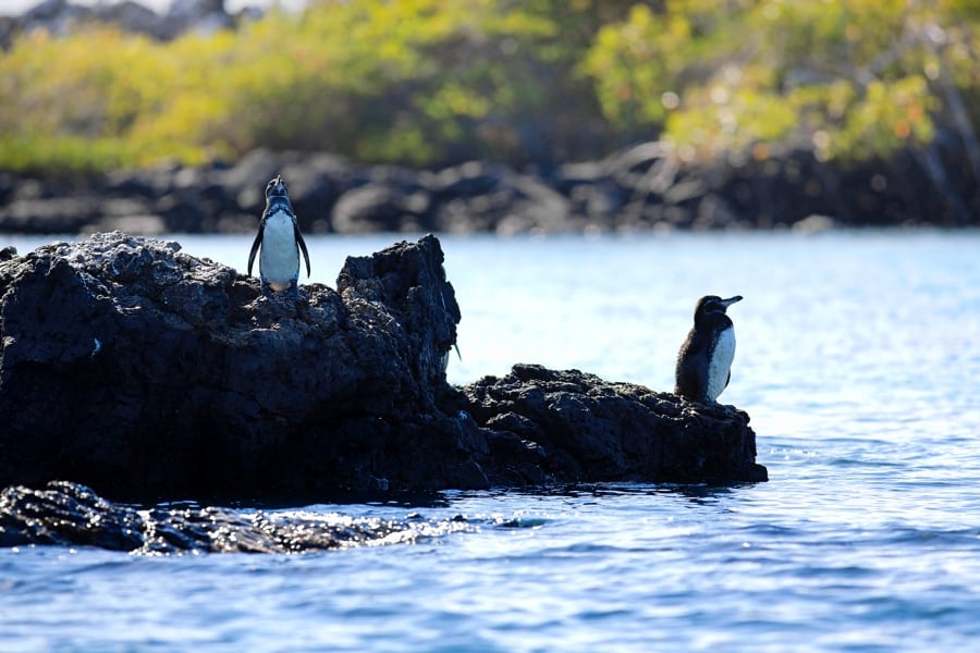 Galapagos Islands, Penguin